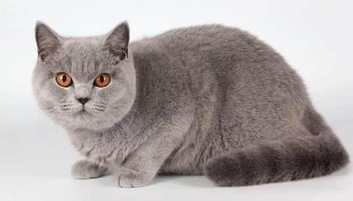 Разбираемся чем отличаются британские кошки от шотландских