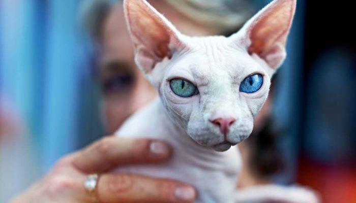 Главные породы гипоаллергенных кошек