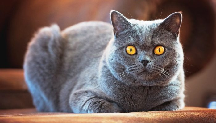 Какой должен быть вес британского котенка по месяцам
