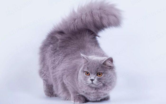 Порода британской длинношерстной кошки - описание