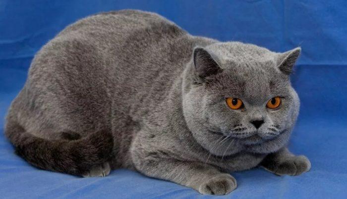 Объясняем как отличить британца от обычного котенка