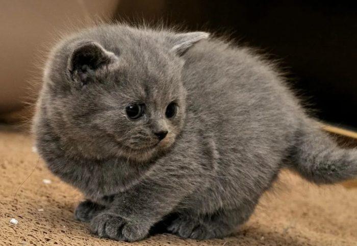 Лучшие клички для котов британцев мальчиков