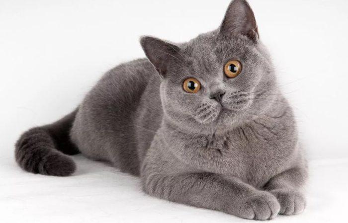 Популярные клички для кошек девочек британок