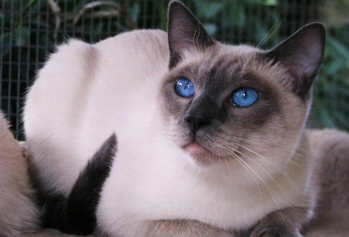 Выбираем имена для сиамских котов