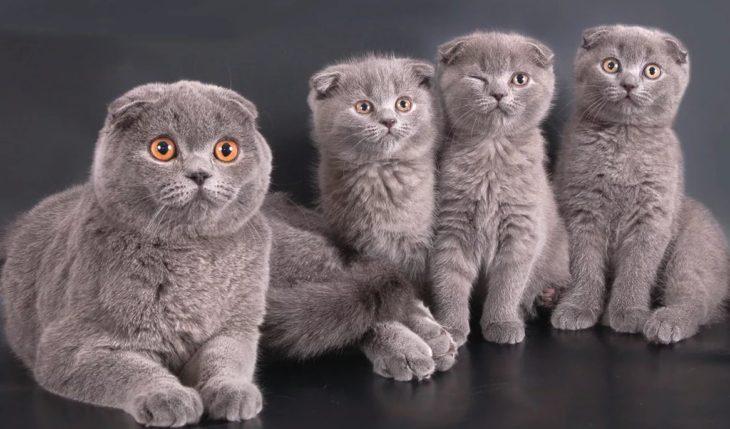 Самые красивые клички для кошек шотландских вислоухих девочек