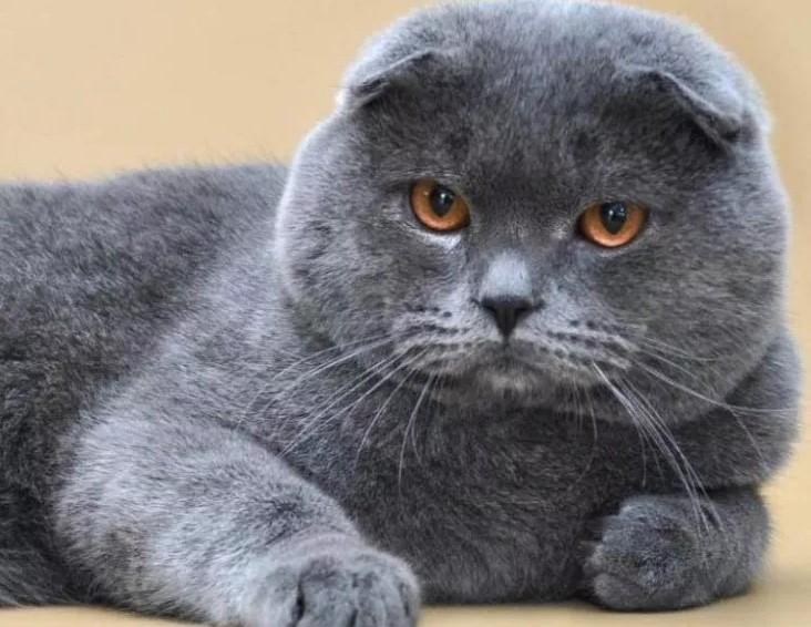 Описание породы британская вислоухая кошка