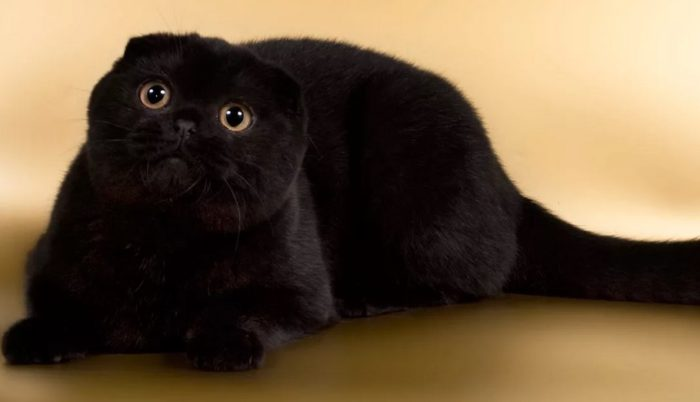 Характер и особенности черной шотландской вислоухой кошки