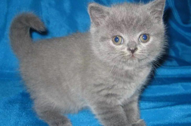 Нормы веса шотландского котенка по месяцам
