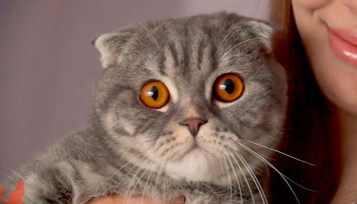 Можно ли скрещивать вислоухую кошку с вислоухим котом?
